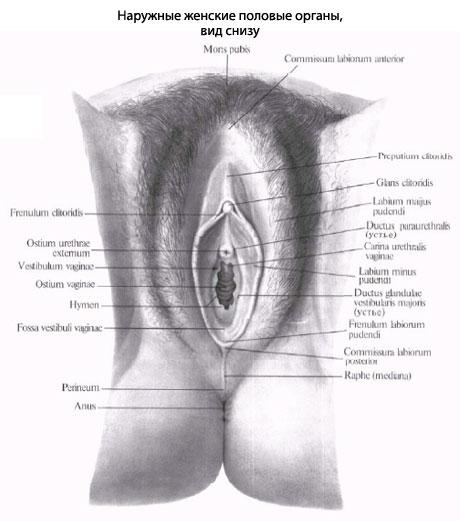 klitor-zhenskiy-organizm