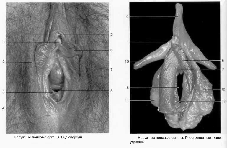 что именно фото внутренние половые органы женщины нашем
