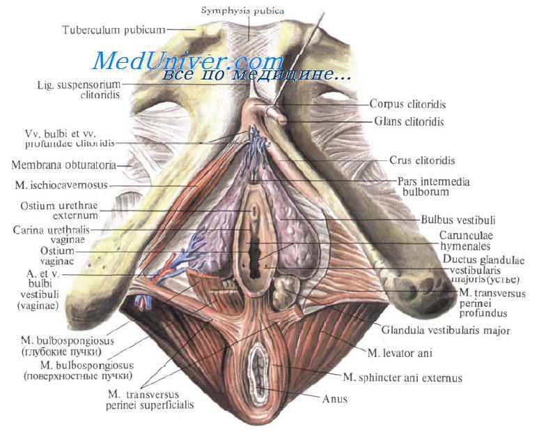 fiziologiya-i-anatomiya-transvestitov