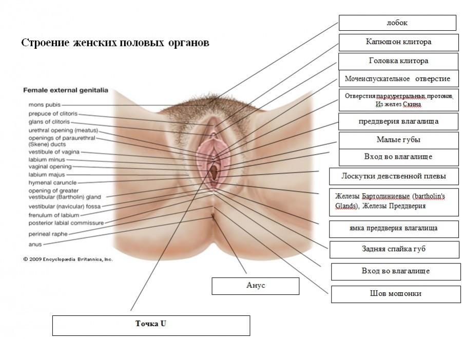 На себе показывает строение женских половых органов видео